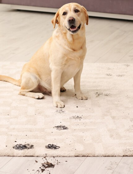 dirty dog on rug | Gilman Floors